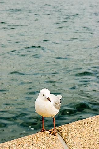 image 5-600-1393 Australia, Sydney, Gull