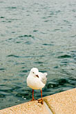 alone stock photography | Australia, Sydney, Gull, image id 5-600-1393