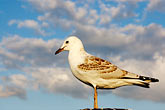 cloudy stock photography | Birds, Gull, image id 5-600-1578
