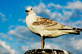 alone stock photography | Australia, Canberra, Gull, image id 5-600-1582