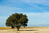 single minded stock photography | Australia, New South Wales, Eucalyptus tree in field, image id 5-600-1810