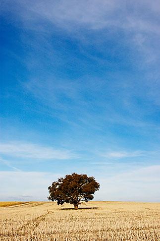 image 5-600-1818 Australia, New South Wales, Eucalyptus tree in field