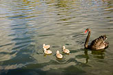 black and white stock photography | Birds, Black swan and cygnets, image id 5-600-2379