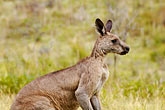 solo stock photography | Animals, Eastern Grey Kangaroo (Macropus giganteus), image id 5-600-7949