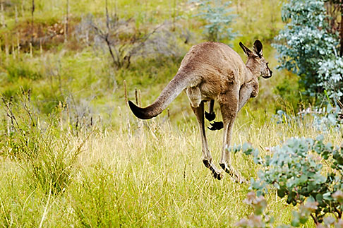 image 5-600-7950 Animals, Eastern Grey Kangaroo Macropus giganteus