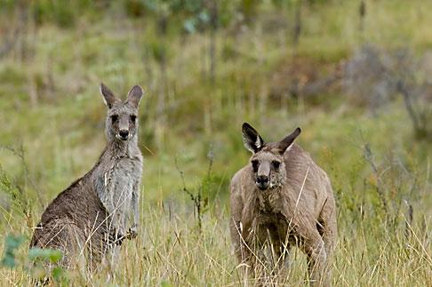 image 5-600-7966 Animals, Eastern Grey Kangaroos Macropus giganteus