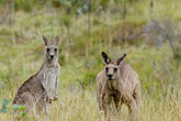 two stock photography | Animals, Eastern Grey Kangaroos (Macropus giganteus), image id 5-600-7966