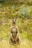 vertical stock photography | Animals, Kangaroo, image id 5-600-7970