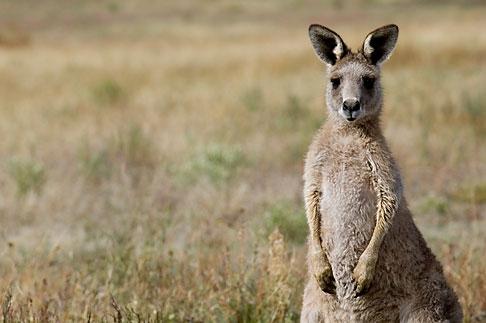 image 5-600-8105 Animals, Kangaroos