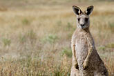 wildlife stock photography | Animals, Kangaroos, image id 5-600-8105