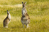 national park stock photography | Animals, Kangaroos, image id 5-600-8123