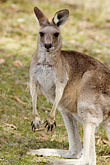 vertical stock photography | Animals, Kangaroo, image id 5-600-8129
