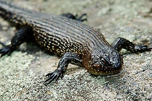 image 5-600-8141 Australia, Australian Capital Territory, Namadgi National Park, Skink
