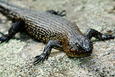 cold stock photography | Australia, Australian Capital Territory, Namadgi National Park, Skink, image id 5-600-8141