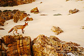 shore stock photography | Australia, Victoria, Mallacoota, Red fox on beach, image id 5-600-8262