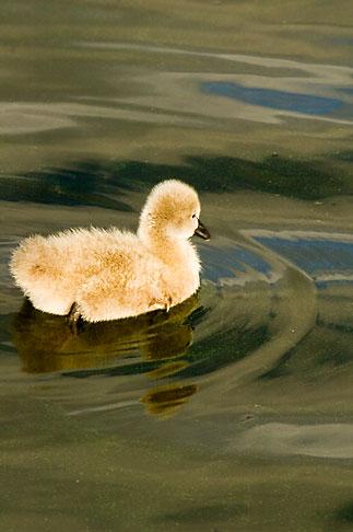 image 5-600-8949 Birds, Black swan cygnet