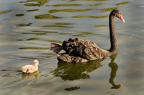 image 5-600-8961 Birds, Black swan and cygnet