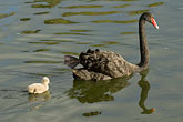 black and white stock photography | Birds, Black swan and cygnet, image id 5-600-8961