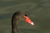 aquatic sport stock photography | Birds, Black swan, image id 5-600-8968
