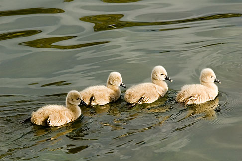 image 5-600-8972 Birds, Black swan cygnets