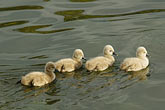aquatic sport stock photography | Birds, Black swan cygnets, image id 5-600-8972