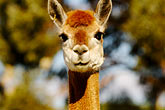 gaze stock photography | Australia, South Australia, Alpaca in farm, image id 5-600-9041