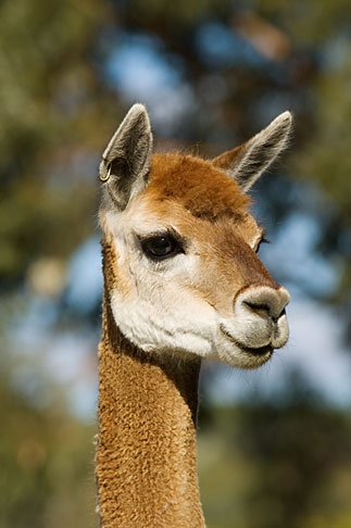 image 5-600-9042 Australia, South Australia, Alpaca