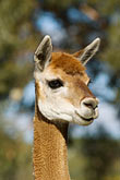 head stock photography | Australia, South Australia, Alpaca, image id 5-600-9042