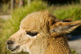 head stock photography | Australia, South Australia, Alpaca, image id 5-600-9065