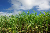 sunlight stock photography | Barbados, St. Lucy, Sugar Cane Field, image id 0-201-54