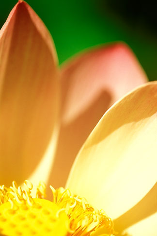 image 3-387-75 Flowers, Lotus flower