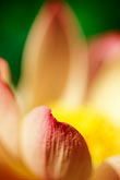 out of focus stock photography | Barbados, St. Joseph, Andromeda Gardens, lotus flower, image id 3-389-2