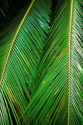 image 3-482-15 Barbados, St Joseph, Andromeda Gardens, palms