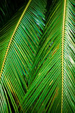 green leaf stock photography | Barbados, St. Joseph, Andromeda Gardens, palms, image id 3-482-15