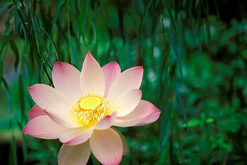 image 3-482-8 Barbados, St Joseph, Andromeda Gardens, lotus flower