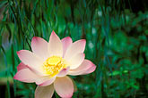 focus stock photography | Barbados, St. Joseph, Andromeda Gardens, lotus flower, image id 3-482-8