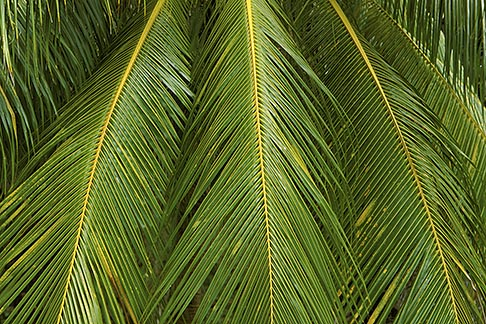 image 3-491-15 Barbados, St Joseph, Palm fronds
