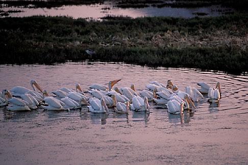 image 0-485-7 California, Marin County, White Pelicans, San Rafael
