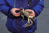 man stock photography | California, Central Valley, Tracy, Federal Water Project, Chinese mitten crab, image id 0-644-12