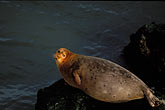 horizontal stock photography | California, San Francisco Bay, Harbor Seal, Castro Rocks, image id 1-290-46
