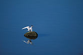 ornithology stock photography | California, San Francisco Bay, Don Edwards National Wildlife Sanctuary, image id 1-370-35