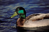 waterfowl stock photography | California, San Francisco Bay, Mallard (Anas platyrhynchos), Oakland, image id 1-372-50