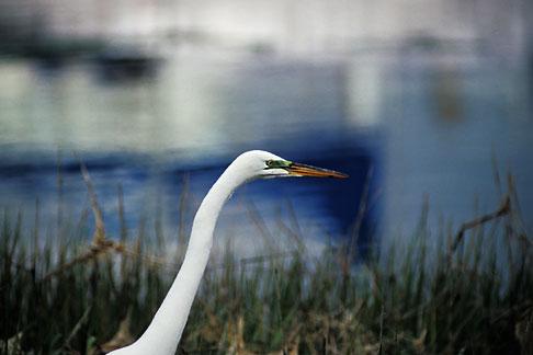 image 1-372-52 California, San Francisco Bay, Great egret Casmerodius albus, Emeryville