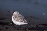 habitat stock photography | California, San Francisco, Sandpiper in winter plumage, Crissy Field, GGNRA, image id 1-60-50