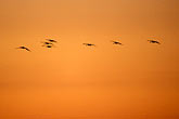 twilight stock photography | California, Delta, Staten island, Sandhill Cranes in flight, image id 1-790-1