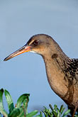 bird stock photography | California, East Bay Parks, Clapper Rail, Arrowhead Marsh, image id 1-853-2