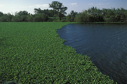 image 1-855-16 California, Delta, Sevenmile Slough, Water hyacinth Eichhornia crassipes