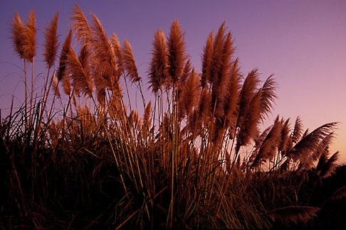 image 2-146-10 California, East Bay, Pampas Grass in Hoffman Marsh