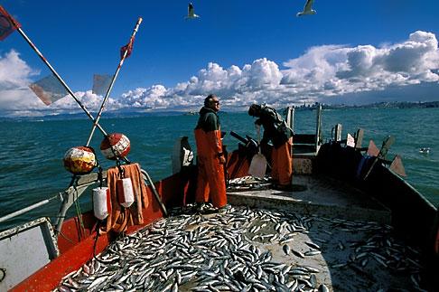 image 2-231-98 California, San Francisco Bay, Herring fishermen bringing in the nets