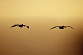 twilight stock photography | California, Marin County, Brown Pelicans (Pelecanus ocidentalis), image id 2-452-34